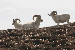 Dall Sheep rams, Ovis dalli dalli, Eriophorum, Cottongrass, Sheep Mountain, St. - stock photo