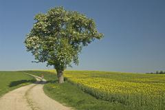cyclist, rape in bloom and pear tree, bavaria, germany - stock photo