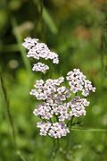 yarrow, gordaldo, nosebleed plant, achillea millefolium - stock photo