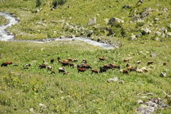 Stock Video Footage of Cattle grazing on mountain meadow,  stream flowing between rocks, click for HD