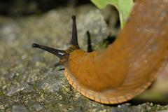 red slug (arion rufus) deutschland, europe. - stock photo