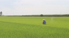 Farmer spraying pesticides in rice field, Asia Stock Footage