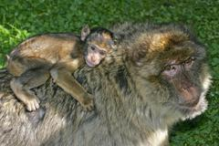 Stock Photo of barbary apes - female with cub on the back - barbary macaque (macaca sylvanus