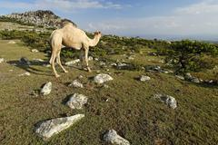 Camel on the highlands of socotra island, unesco-world heritage site, yemen Stock Photos