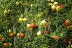 Unripe and ripe tomatoes (solanum lycopersicum) - germany, europe. Kuvituskuvat