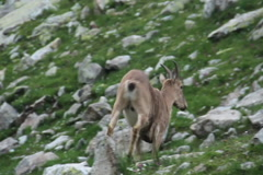 Brown mountain goat running up the hill, scared, wild animal, click for HD Stock Footage