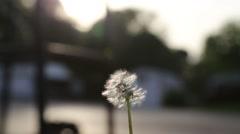 Dandelion blowing away Stock Footage