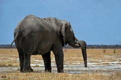 Elephant bull (loxodonta africana) with trunk hanging over its tusk at the wa Stock Photos