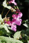 impatiens glanulifera, balsaminaceae imported pest displacing endemic species - stock photo