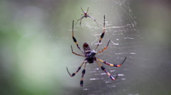 Golden silk spider with prey Stock Footage