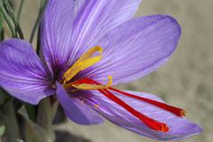 autumn crocus, saffron flower, crocus sativus, mund, valais, switzerland - stock photo
