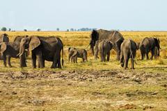 Herd of elephants loxodonta africana chobe river botswana Stock Photos