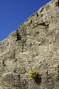 Stock Photo of yellow saxifrage (saxifraga aizoides) on a crag, national park hohe tauern, c