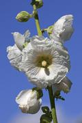 Flowering hollyhock - white blossoms (alcea rosea) Stock Photos