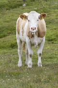 Cow with nose ring, meadow near by grossglockner hochalpenstrasse, national p Stock Photos