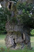800 years old english oak from tunhem in sweden - bole - pedunculate oak (que - stock photo