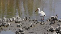 White ibis searching for food Stock Footage