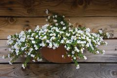 White flowers at the wall of an old mountain hut in stubai valley, tyrol, aus Stock Photos