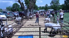 Lambs waiting in pens for auction as part of small town summer festival Stock Footage