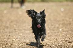 Labrador retriever obedient Stock Photos