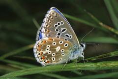 Adonis blue (lysandra bellargus) Stock Photos