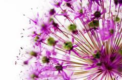 Stock Photo of blossom of an giant allium (allium giganteum)