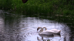 Pair of swan birds looking for food in river water Stock Footage