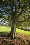 chestnut tree on a moraine hill in tufertschwil, toggenburg region, st. gall  - stock photo