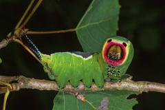 puss moth (cerura vinula), caterpillar - stock photo