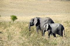 African elephant (loxodonta africana) and its young in the savannah serengeti Stock Photos