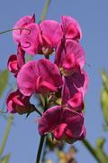 Stock Photo of flowering everlasting pea - perennial sweet pea (lathyrus latifolius)