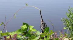 Anhinga water fowl aka snakebird Stock Footage