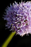 Stock Photo of allium senescens l. subsp. montanum (fr.) holub