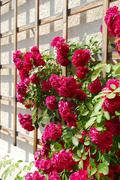 red rambler roses (rosa) on a grid at a house wall - stock photo