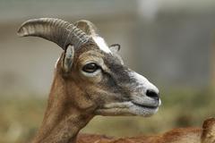 Emale mouflon (ovis ammon musimon) Stock Photos