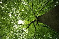 Green treetop of a beech, wohldorfer wald, hamburg, germany Stock Photos
