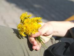 Bunch of yellow dandelions in hand Stock Photos