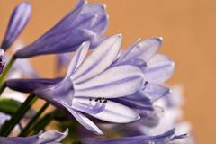 Lily (agapanthus) Stock Photos