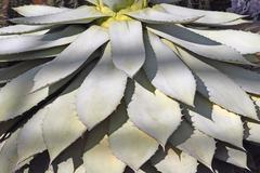 Stock Photo of agave