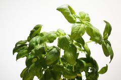 Fresh kitchen herbs, basil (ocimum basilicum) Stock Photos