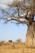 baobab tree (adansonia digitata) and african elephant (loxodonta africana) in - stock photo
