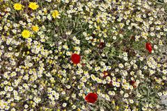 spring flowers especially anthemis maritima, greece - stock photo