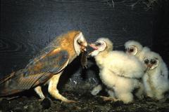 Barn owl (tyto alba) giving mouse to fledgling Stock Photos