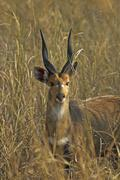 Bushbuck, tragelaphus scriptus, gorongosa national park, mozambique, africa Stock Photos