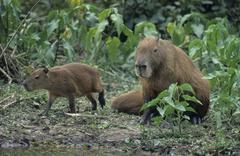 capybara (hydorchaeris hydrochaeris) with pup, pantanal, brazil, south americ - stock photo
