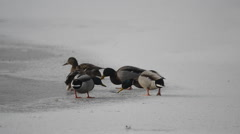 Crow attacks mandarin duck on the ice in winter Stock Footage