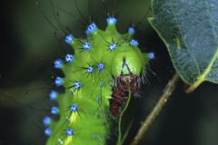 Giant peacock moth (saturnia pyri), feeding caterpillar Stock Photos