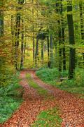 Forest track through an autumnal coloured beech groove (fagus sylvatica), wes Stock Photos