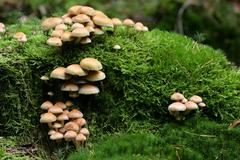 sulphur tuft - sulfur tuft - mushrooms on a stub covered with moss - toadstoo - stock photo