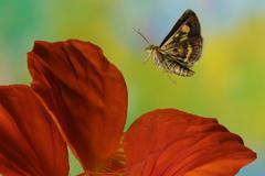 mint moth (pyrausta aurata) - stock photo